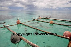 Pacific Pearl farming (powerfocusfotografie) Tags: ocean sea travelling polynesia pacific pearls henk pearlfarm moorea blackpearl nikond90 powerfocusfotografie