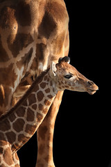 ONLY FIFTEEN DAYS (fabiogis50) Tags: baby nature animals ngc npc giraffe animalia giraffa allofnatureswildlifelevel1 allofnatureswildlifelevel2 allofnatureswildlifelevel3 vigilantphotographersunite vpu2 vpu3 vpu4 vpu5 vpu6 vpu7 vpu8 vpu9 vpu10