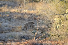 """BSR Bobcat • <a style=""""font-size:0.8em;"""" href=""""http://www.flickr.com/photos/77680067@N06/7027153627/"""" target=""""_blank"""">View on Flickr</a>"""
