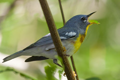 Northern Parula choking down a green slime gel insect (shutterbugdan) Tags: park bird fauna tampa feeding florida wildlife lettucelakepark woodwarbler northernparula openbeak hillsboroughcounty