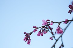 weeping cherry (mitszo) Tags: pink blue flower japan canon cherry osaka kissx eoskissx