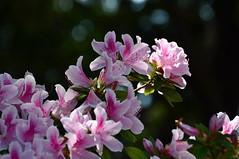 Climbing Toward the Sun (The Spirit of the World) Tags: california flowers nature garden spring flora azaleas sandiego blossoms soe balboapark springtime thegalaxy awesomeblossoms mygearandme rememberthatmomentlevel1