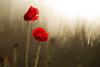Buscando la luz - II (inaxiotejerina) Tags: primavera navarra nafarroa udaberria amapola pitillas mitxoleta