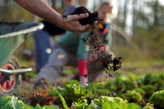 "Adding compost to growing lettuce at the organic farm ""Hof van Twello"", the Netherlands (Simon Christiaanse) Tags: europe dof hand gardening farm nederland thenetherlands soil lettuce organic compost wheelbarrow plantingbed hofvantwello growingcrops simonchristiaanse"