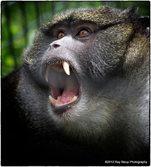 my, what big teeth you have (rsteup) Tags: animals zoo monkey indiana zooanimals fortwaynein fortwaynechildrenszoo angrymonkey canon60d canoneos60d fwfg snapseed swampmomkey grouchymonkey
