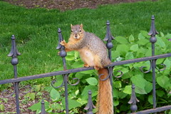 Stretching Squirrel at the University of Michigan on a Very Warm Day (May 4, 2012) (cseeman) Tags: animal campus spring squirrels gate warm iron michigan annarbor fences cardio universityofmichigan streching ironfences irongates exercising stretchingsquirrel umsquirrel05042012