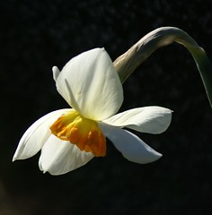 Pretty flower with many names (Jaedde & Sis) Tags: black potofgold pog bigmomma narcissuspoeticus potofgold2 pinselilje herowinner storybookwinner pregamewinner
