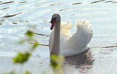 Mute Swan (pallab seth) Tags: park summer portrait england london closeup spring swan tags muteswan cygnusolor wildfowl