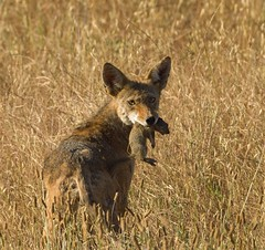 COYOTE (sea25bill) Tags: california coyote morning light nature animal spring squirrel wildlife