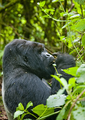 Volcanoes National Park gorilla - Rwanda (Eric Lafforgue) Tags: africa park animal forest outdoors gorilla profile bamboo rwanda eat vegetation manger afrika greenery foret primate parc commonwealth bambou afrique repas eastafrica gorille mountaingorilla oneanimal centralafrica 9477 kinyarwanda ruanda gorillaberingei gorillatrekking afriquecentrale bigape  unanimal gorilledesmontagnes    republicofrwanda   ruandesa