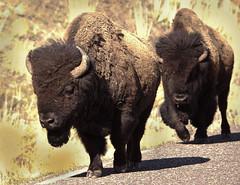 Here come the troops... (Kim Tashjian) Tags: park spring buffalo montana yellowstone wyoming bison