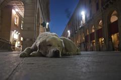 Biancone (RossoGialloBianco) Tags: sleeping dog cane night corso terra notte primopiano abruzzo dorme muso pastore pavimento teramo abruzzese