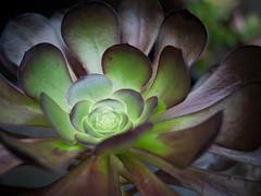 Aeonium arboreum (greenplasticamy) Tags: plants plant gardens garden lumix succulent panasonic micro 20mm succulents 43 aeonium arboreum gf1 mft aeoniumarboreum micro43 microfourthirds dmcgf1