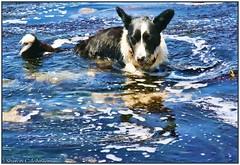 Tide Pool Teegan (MyRidgebacks - Sharon C Johnson) Tags: pacificocean welshcorgi tidepool cardigan pacificcoast naturescene herdingdog teegan northernca thelittledoglaughed myridgebacksphotography mygearandme dogwaterplay