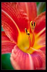 I I I I (...) Tags: flowers light orange sun macro green nature colors lens reflex dof bokeh stamens numeric pistils pentax35mmf28limited pentaxk7 pentax35mmf28ltd k7insidetreatment