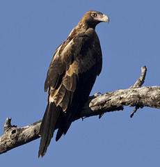 proud to be a wedge-tailed eagle (Fat Burns) Tags: bird eagle outback australianbirds australianwildlife wedgetailedeagle freedomtosoarlevel1birdphotosonly