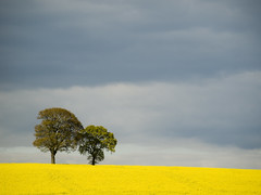 Fields of Gold (DaveKav) Tags: yellow tree rapeseed nottinghamshire olympus e510 oil england uk haywoodoaks unitedkingdom fourthirds britain greatbritain gb blinkagain