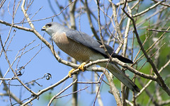 Levant Sparrowhawk / Accipiter brevipes /  (Panayotis1) Tags: nature birds canon aves greece animalia accipiter accipitridae chordata  accipitriformes canonef400mmf56lusm imathia   levantsparrowhawk accipiterbrevipes  66 tafros66 kenkopro300afdgx14x