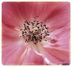 rose macro (karma (Karen)) Tags: flowers roses maryland baltimore neighborhood macros squared cmwdpink photocontesttnc12
