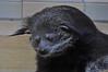 Binturong (Truus & Zoo) Tags: berlin animals germany deutschland zoo tiergarten duitsland vulnerable bearcat berlijn binturong arctictisbinturong dierentuin tierparkberlin beermarter marderbär bintoerong