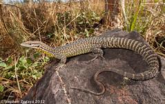 Black Spotted Spiny Tailed Monitor Varanus Baritji At The