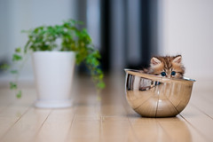 Bowl Cat II - Partial Concealment (torode) Tags: reflection green japan cat tokyo wooden kitten floor steel blueeyes kitty bowl confused scared hiding furrowedbrow potplant concealment