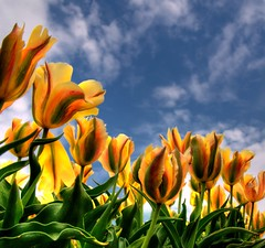 Tulpen (hetty m) Tags: colors tulips bulbflowers greenyellowblue bolbloemen