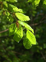 Beech Leaves in Sunlight Enys near Penryn Cornwall (Cornishcarolin. Thank you everyone xxxx) Tags: trees nature bluebells cornwall penryn enysgardens