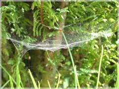 Simple Cobweb (thenbman) Tags: flowers plants macro nature canon garden spiders wildlife clocks cobwebs dandelions sx40