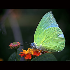 Green Wings (-clicking-) Tags: lighting light macro nature beautiful beauty closeup butterfly garden wings dof natural bokeh details ngc insects vietnam npc greenbutterfly bm bestcapturesaoi elitegalleryaoi
