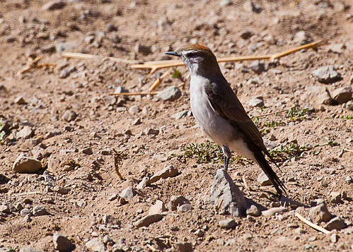 <p>White-browed Ground-Tyrant, a flycatcher that is more comfortable on the ground than sallying up in the air for bugs. </p>