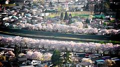 Hanami at Kakunodate (SN.316_2012) (Moonie's World) Tags: japan spring   sakura  akita  tohoku hanami kakunodate    lumixgvario100300f4056