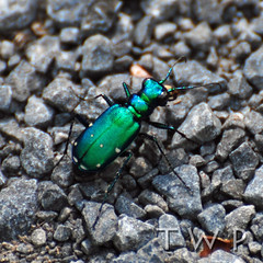 Emerald in the Rough (WanderWorks) Tags: canada green bug insect shiny rocks stones dsc5582c1fgb