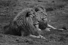 Proud (brennivin.) Tags: park blackandwhite bw monochrome wildlife yorkshire lions processed animalplanet doncaster