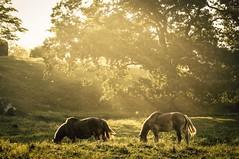 meadow light (Jen MacNeill) Tags: horses horse rural golden evening pennsylvania farm country meadow amish pasture belgian grazing magichour goldenhour draft workhorse chestercounty jennifermacneilltraylor