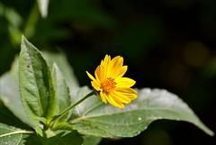 Amor Seco (nativetree) Tags: flowers flores flora bidenslaevis amorseco smoothbeggartick