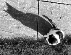 Shadow cat 5 (flatcap2009) Tags: blackandwhite catshadow