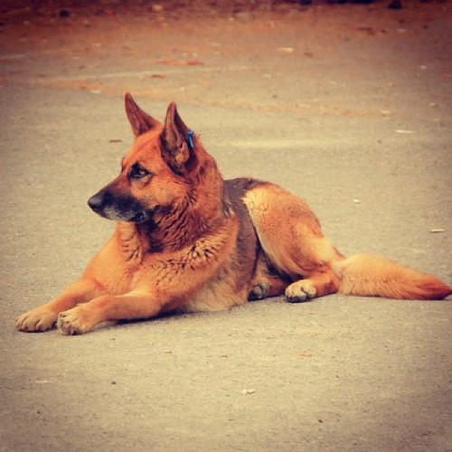 #كلب بوليسي