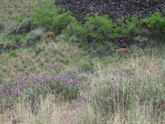 deer, with purple sage in front (jcoutside) Tags: bankslake grandcouleedam grandcoulee basalt dryfalls steamboatrock sunlakesstatepark iceagefloods mosescoulee umatillarock