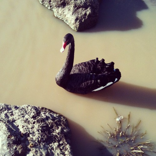Local wildlife, a black swan.