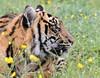 Sumatran Tiger 7 (Funky Foxy) Tags: tiger sumatrantiger pantheratigrissumatrae endangeredbigcats
