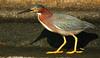 Bright Yellow Feet (dbuk2) Tags: heron littlegreenheron fbdg