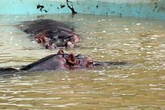 Hipoptamos (Johnny Photofucker) Tags: animal zoo zoolgico belohorizonte hippopotamus bicho bh zoologic hipoptamo paquiderme hippopotamo