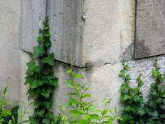 Ivy on Stone (K.G.Hawes) Tags: city plants plant france green stone wall french concrete climb vines lyon cement creative ivy vine commons cc climbing creativecommons walls lyons