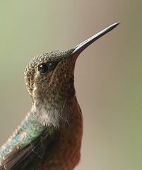 The Hummingbird (jhhwild) Tags: bird hummingbird humming