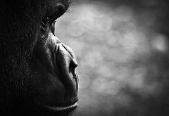 Gorilla - [Explored] (xDiscobobx) Tags: blackandwhite london canon londonzoo gorillas zsl