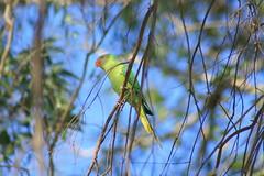 Parrots (prasanth_p_jose) Tags: campus iit mandi lowerhimalayas beautifulpictures beautifulcampus kamand shivalikranges kamandcampus iitmandikamandcampus amazingcampuspictures wildlifeiitmandikamandcampus