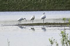 lepelaar.jpg-1157 (derepaht) Tags: bird nature animal spoonbill