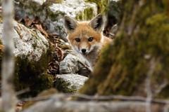 Hide and Seek (mike.norkum@gmail.com) Tags: ontario ottawa fox redfox foxden foxkit foxpups