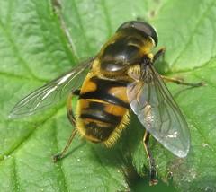 Fly - Myathropa florea (John Steedman) Tags: uk greatbritain england london fly unitedkingdom mosca hoverfly mouche fliege diptera grossbritannien     grandebretagne myathropaflorea